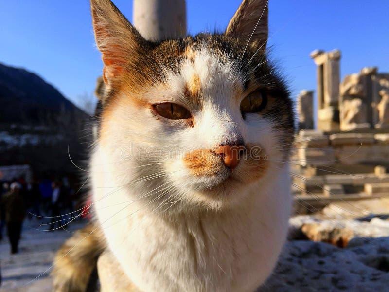 Turecki kot zdjęcia royalty free