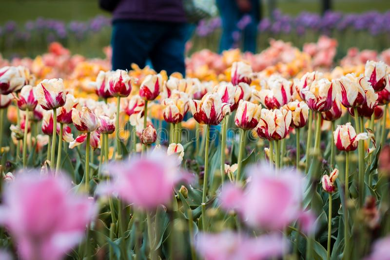 Turist- gå till och med tulpanfälten i Holland Michigan under tulpanfestivalen royaltyfria bilder