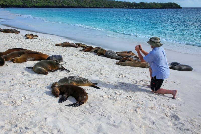 Turist- hållande ögonen på Galapagos sjölejon på Gardner Bay nationalpark på för den Espanola ön, Galapagos, Ecuador royaltyfri bild