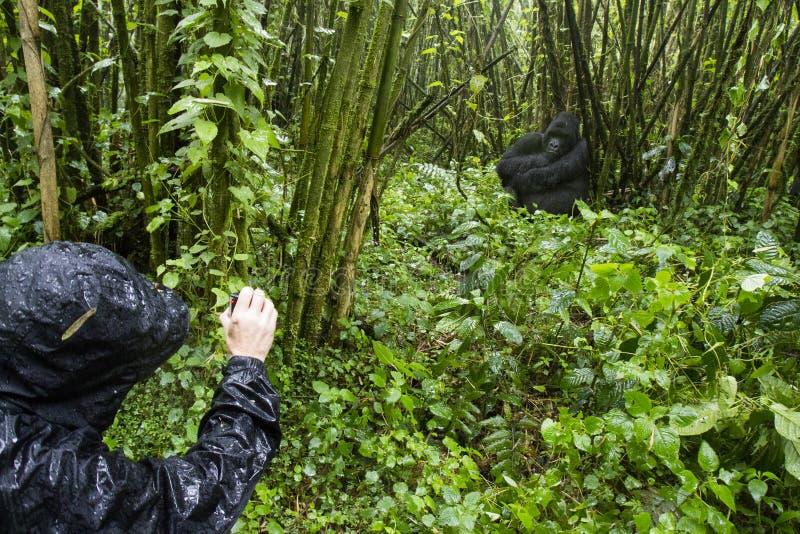 Turist och gorilla i Volcanoes nationalpark, Virunga, Rwanda arkivfoto