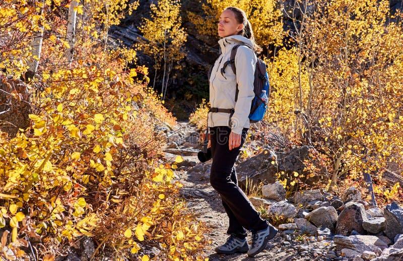 Turist som fotvandrar i asp- dunge på hösten royaltyfri bild