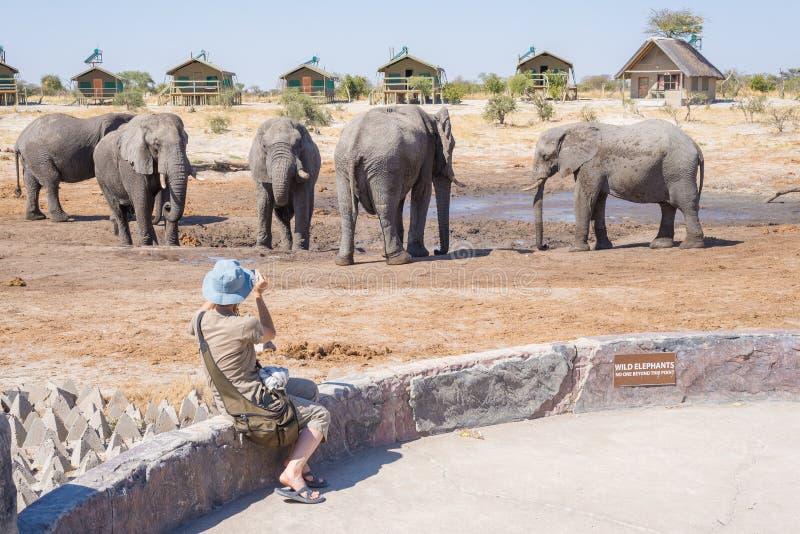 Turist som mycket nästan fotograferar elefanter med smartphonen, flocken Affärsföretag och djurlivsafari i Afrika Resa för folk arkivfoton