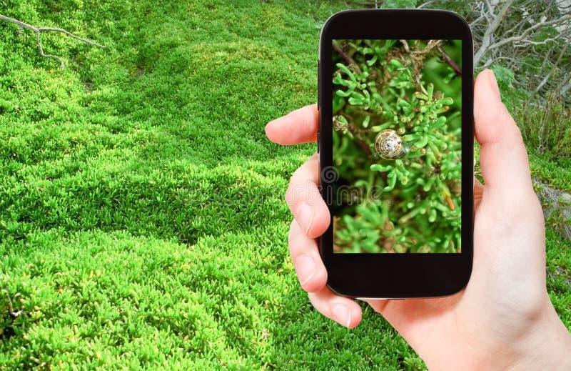 Turist- tagande foto av snigeln på gröna alger royaltyfri foto