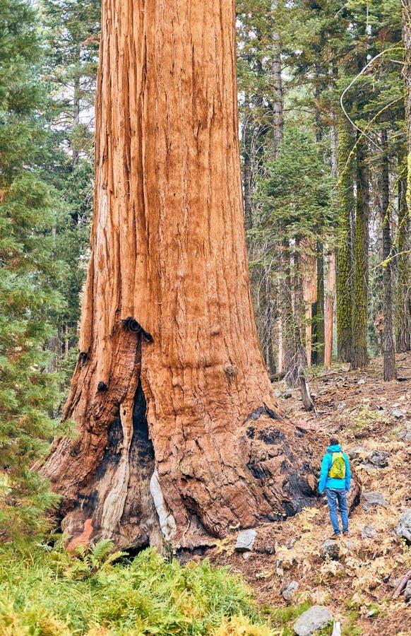 Turista con lo zaino che fa un'escursione nel parco nazionale della sequoia fotografie stock