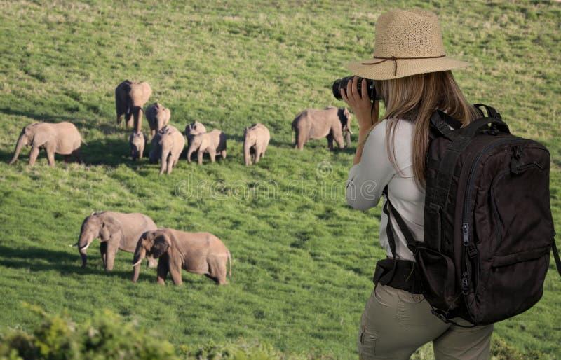 Turista da senhora com os binóculos no safari que olha elefantes imagem de stock