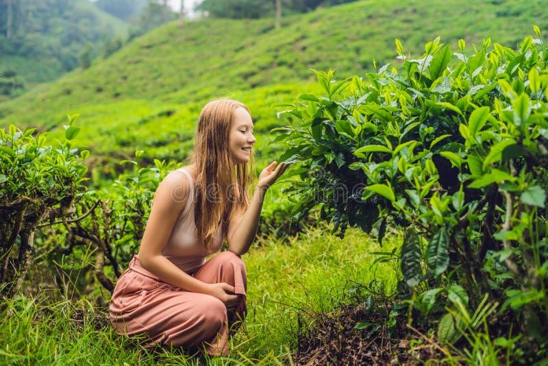 Turista das mulheres em uma plantação de chá As folhas de chá selecionadas, frescas naturais no chá cultivam em Cameron Highlands imagens de stock