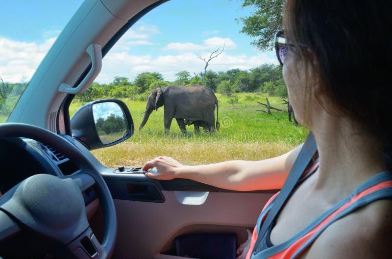 Turista de la mujer el vacaciones del coche del safari en Suráfrica, mirando el elefante en sabana foto de archivo libre de regalías