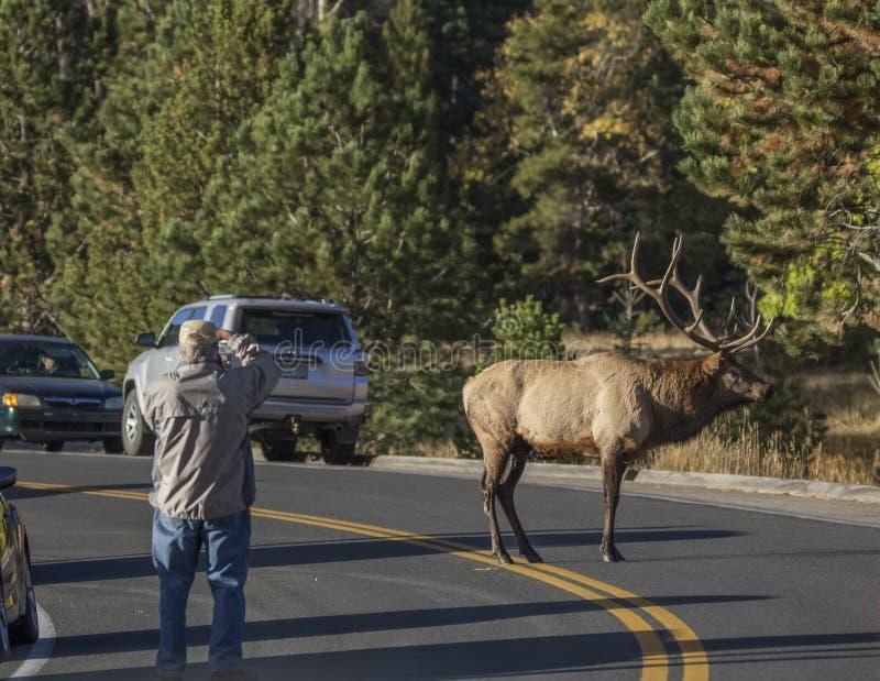 Turista e alces de Bull fotos de stock royalty free