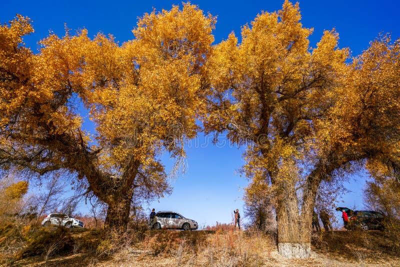 Turista e Populus dourado vívido no outono pelo rio Tarim fotos de stock royalty free