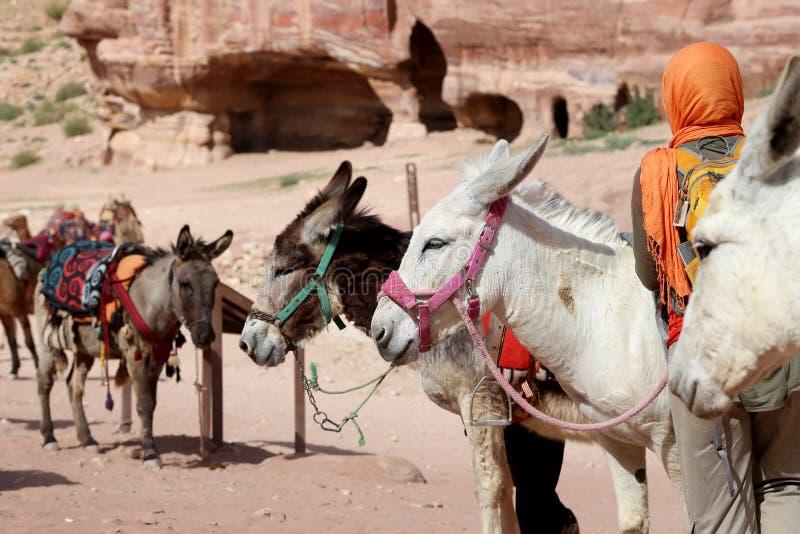 Turista ed asini fra il paesaggio di PETRA, Giordania del deserto dell'arenaria immagini stock