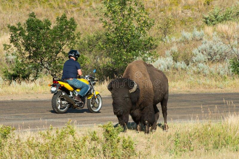 Turista, viaggio, Buffalo, natura, bisonte fotografia stock