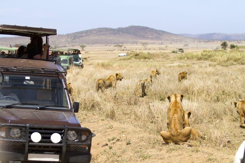 Turistas do safari dos animais selvagens na movimentação do jogo fotografia de stock royalty free
