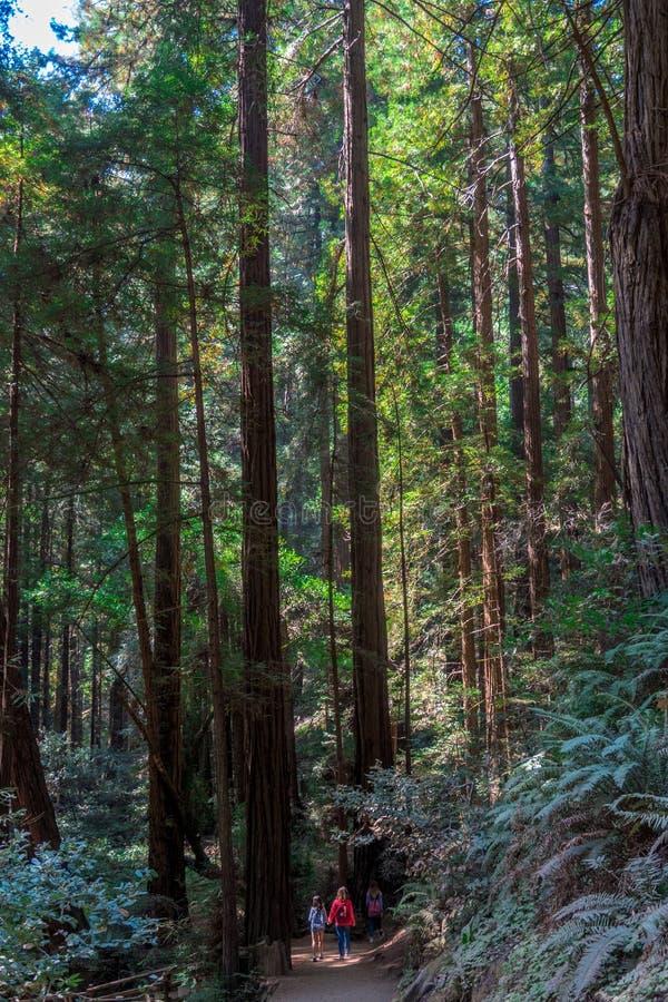 Turistas entre los árboles de la secoya gigante en Muir Woods imágenes de archivo libres de regalías