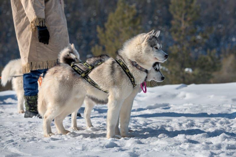 turistas que esperan perro-sledding del equipo para a montar fotografía de archivo libre de regalías