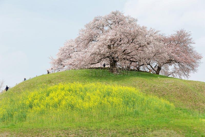 Turistas que suben para arriba una colina de los flores hermosos del cerezo y de los prados herbosos verdes fotos de archivo libres de regalías