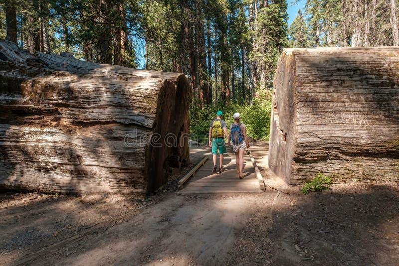 Turister med ryggsäcken som fotvandrar bland sequoiaredwoodträd arkivbilder