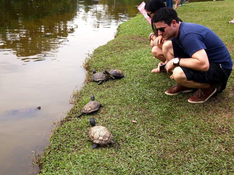Turister observerar en grupp av sköldpaddor arkivfoton