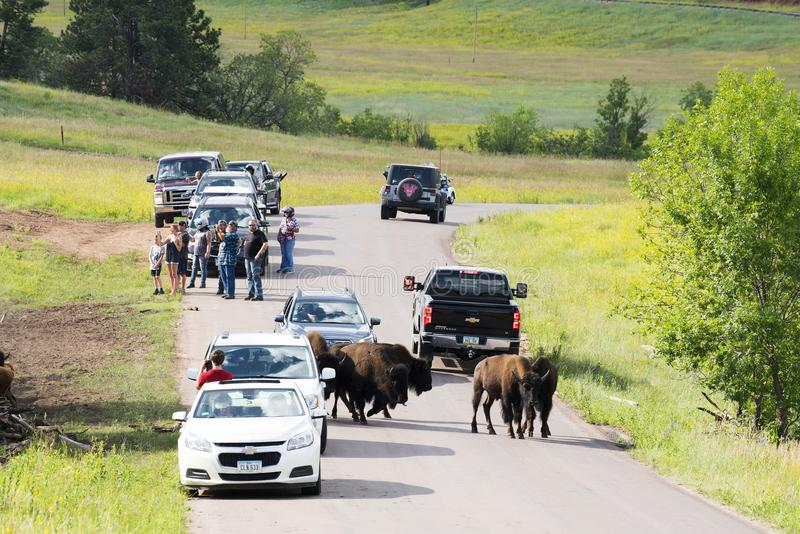 Turister och bison på Custer State Park royaltyfri foto