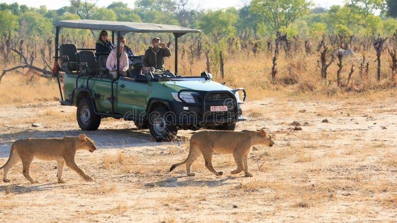 Turister på safariklockan, som två lejon går förbi deras safarilastbil i den Hwange nationalparken royaltyfri bild