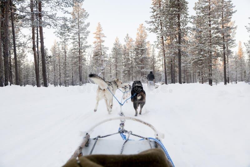 Turisti che eseguono dogsled in Lapponia immagini stock