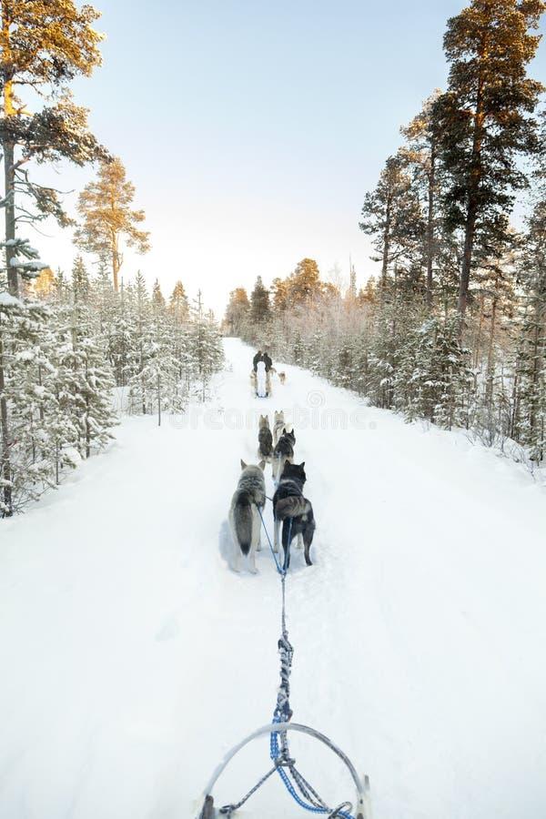 Turisti che eseguono dogsled in Lapponia fotografie stock libere da diritti