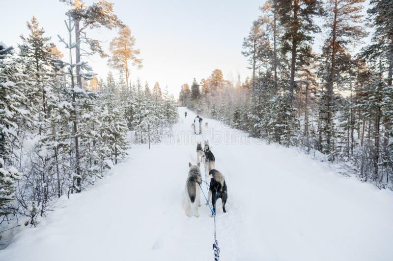 Turisti che eseguono dogsled in Lapponia immagini stock libere da diritti