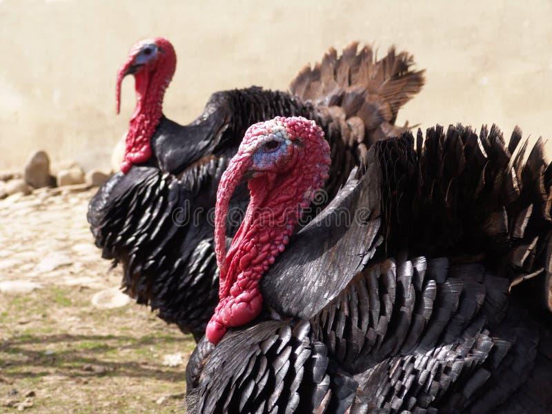 Download Turkey stock image. Image of swell, bird, turkey, birds - 104491