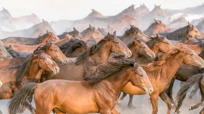 Horses run gallop in dust. Turkey, August 2017: Horses run gallop in dust stock image
