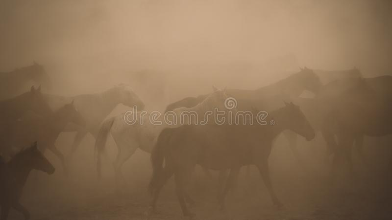 Horses run gallop in dust. Turkey, August 2017: Horses run gallop in dust royalty free stock images