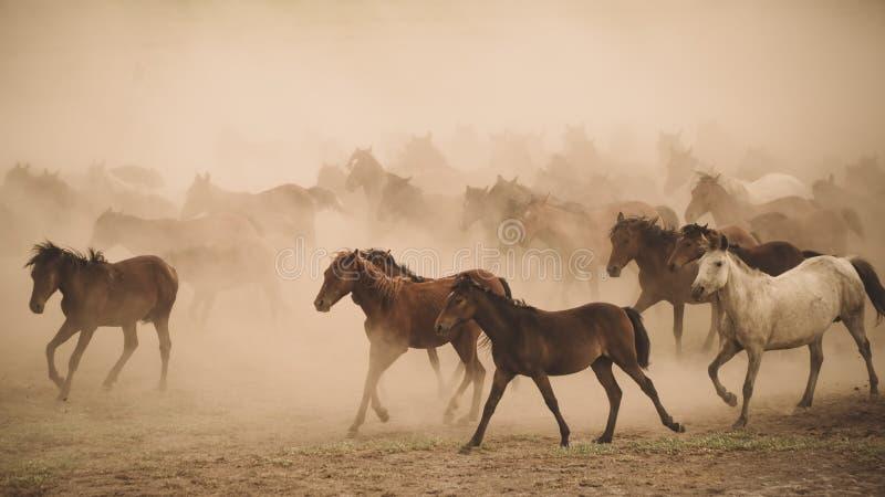 Horses run gallop in dust. Turkey, August 2017: Horses run gallop in dust royalty free stock photography