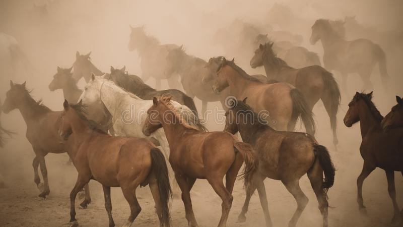 Horses run gallop in dust stock photos