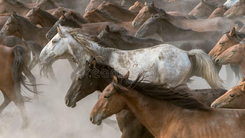 Horses run gallop in dust. Turkey, August 2017: Horses run gallop in dust royalty free stock image