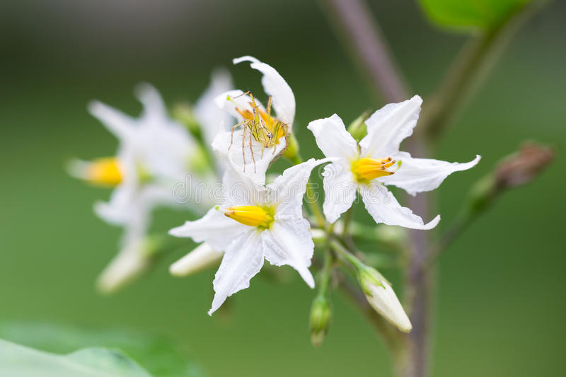 Download Turkey Berry stock image. Image of solanum, close, healthy - 98735327