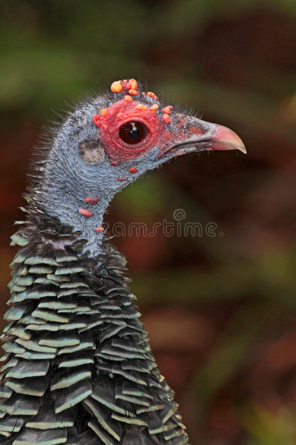 Turkey. Close Up Of Colorful Wild Turkey Hen With Red And Blue Head royalty free stock photo