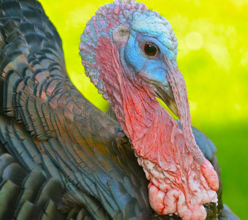 Turkey. Colorful portrait of a turkey stock photo