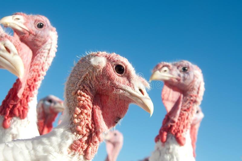 Turkey on a farm stock images