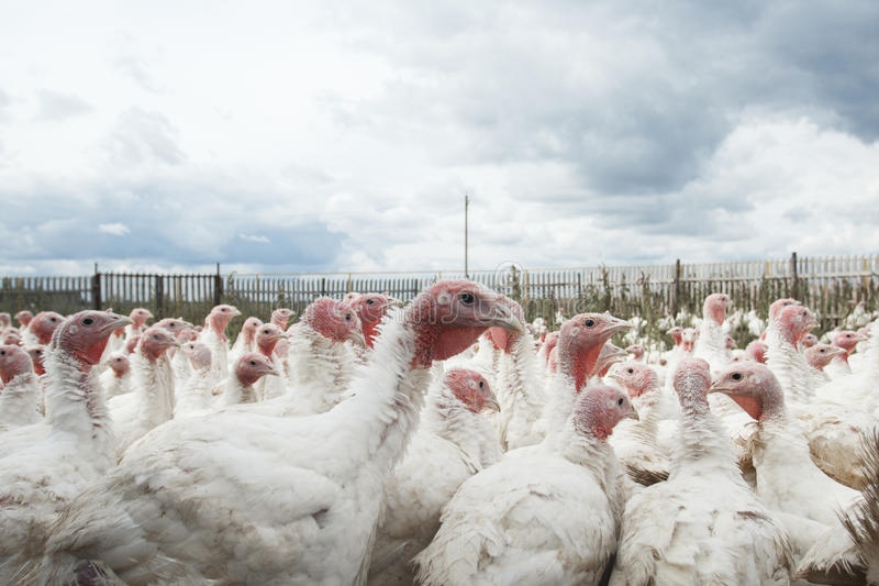 Turkey on a farm bird farm animal. Farming feather stock photo