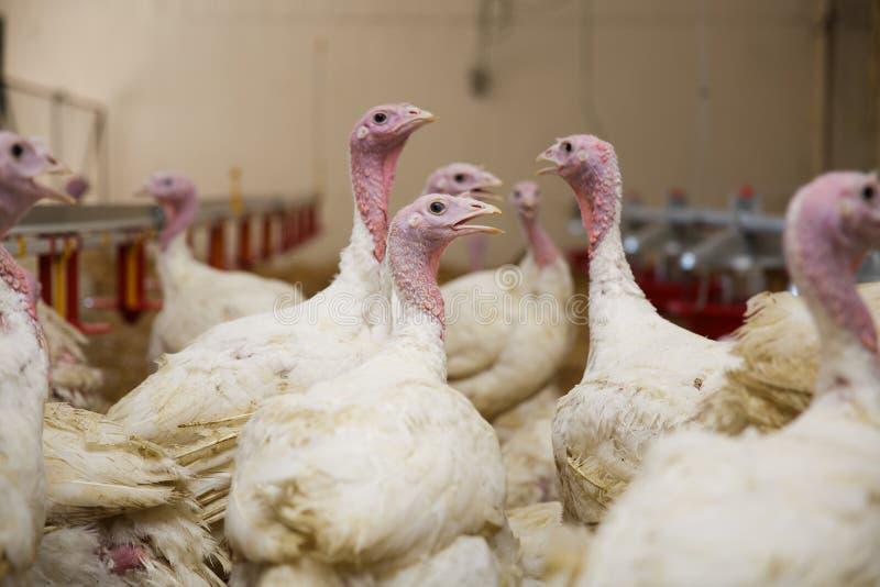 Turkey on a farm , breeding turkeys. Flock of Turkeys at the farm royalty free stock photo