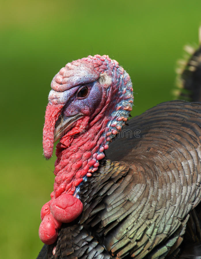 Free Turkey Portrait Stock Photo - 25962310