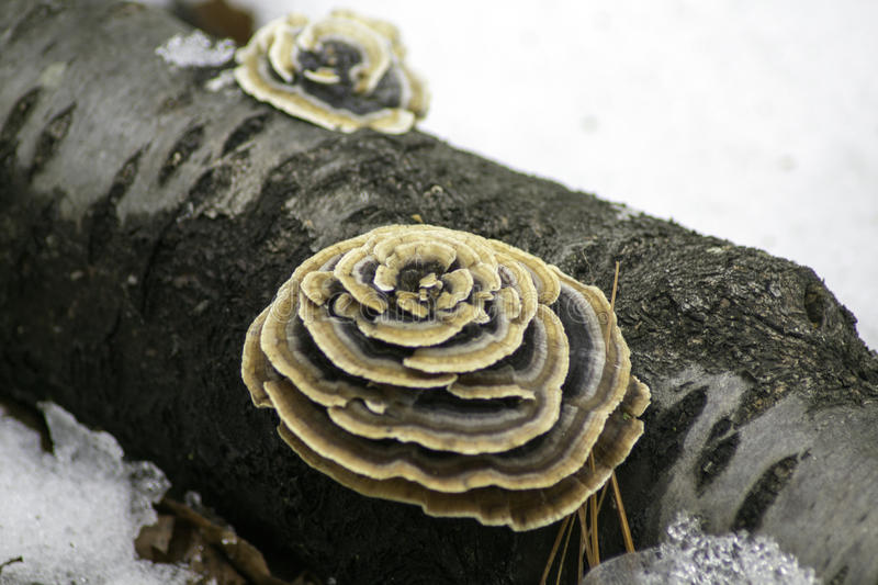 Download Turkey Tail on Cherry Log stock image. Image of cherry - 90062947