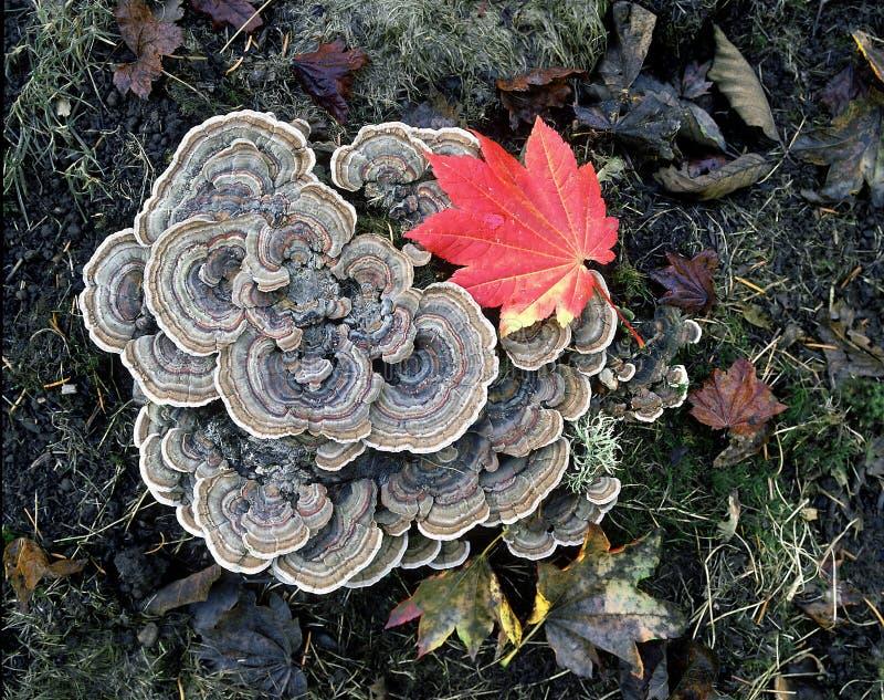 Turkey tail fungus stock photos