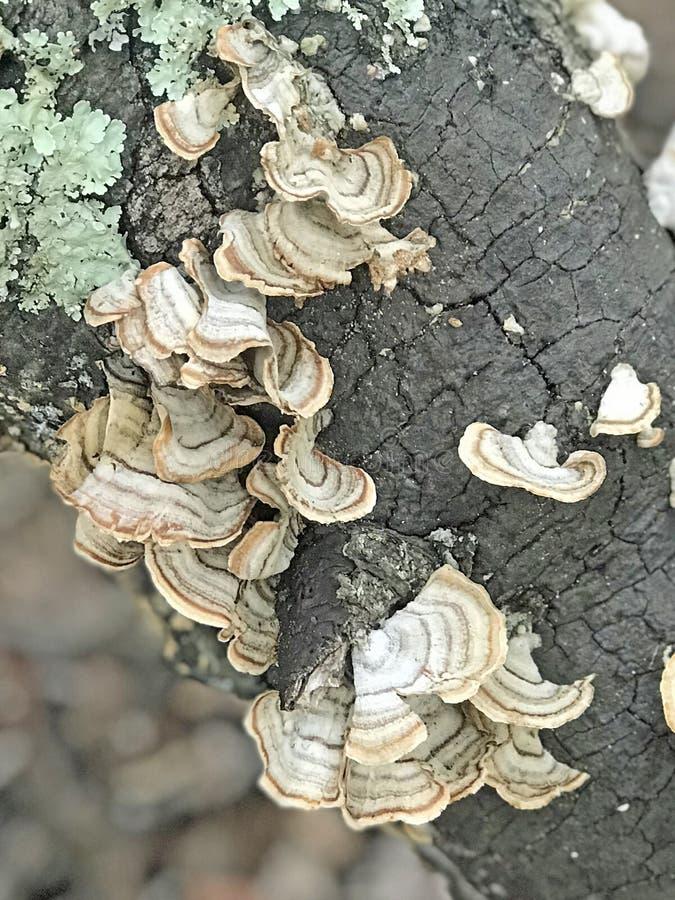 Turkey Tail Fungus royalty free stock image