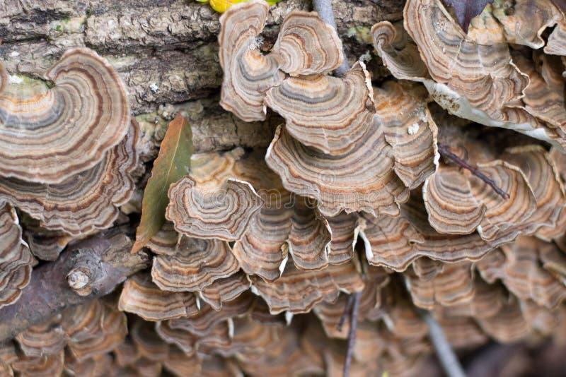 Turkey Tail Mushrooms Trametes versicolor Fungus stock image