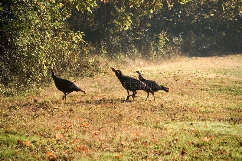 Download Turkey Trot stock image. Image of walk, trot, trees, fowl - 28621