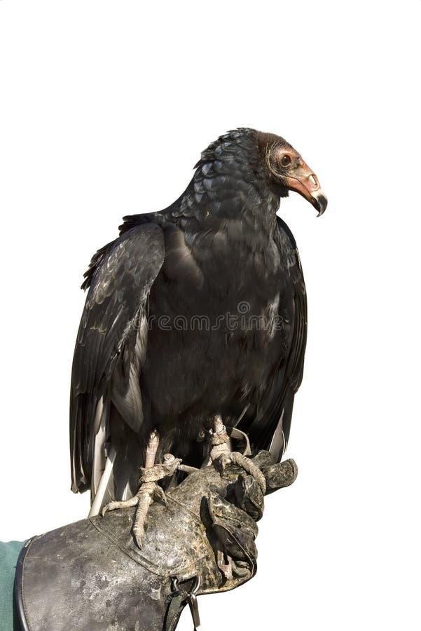 Free Turkey Vulture Stock Photo - 21674600