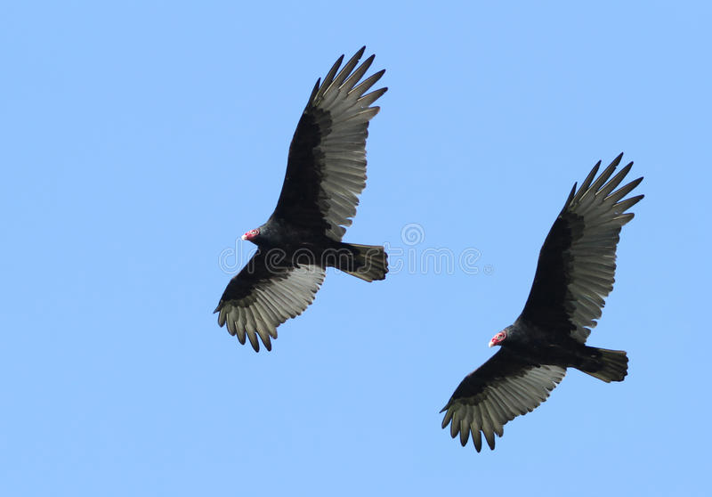 Download Turkey Vulture Stock Photos - Image: 21777533