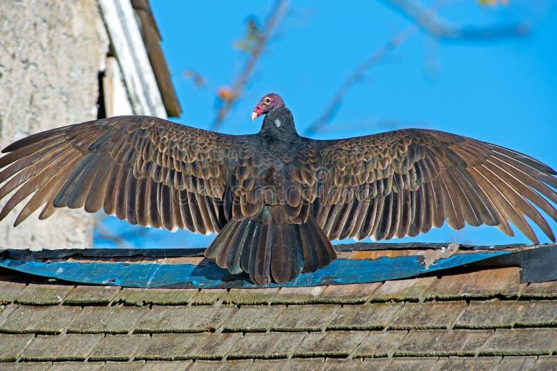Turkey Vulture Royalty Free Stock Image