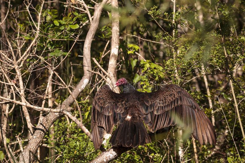 Turkey vulture Cathartes aura perches on deadwood. In a marsh in the CREW Bird Rookery in Naples, Florida royalty free stock image