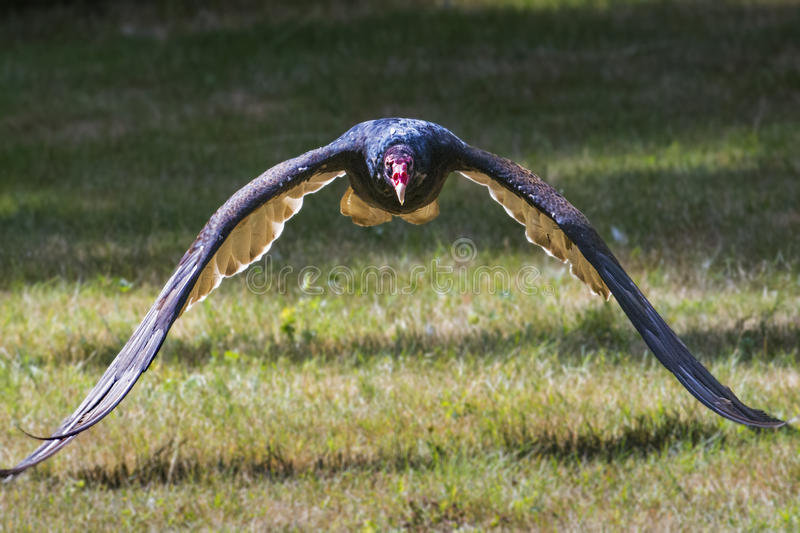 Turkey Vulture. Cathartes aura raptor in flight royalty free stock photography