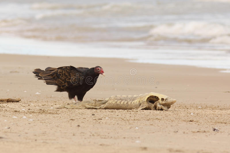 Download Turkey Vulture Examining A Dead Lake Sturgeon Stock Images - Image: 26584084